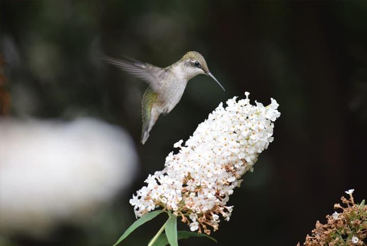 beija-flor na voando na flor