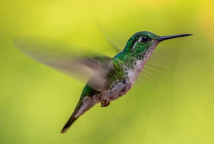 beija-flor voando e batendo asas